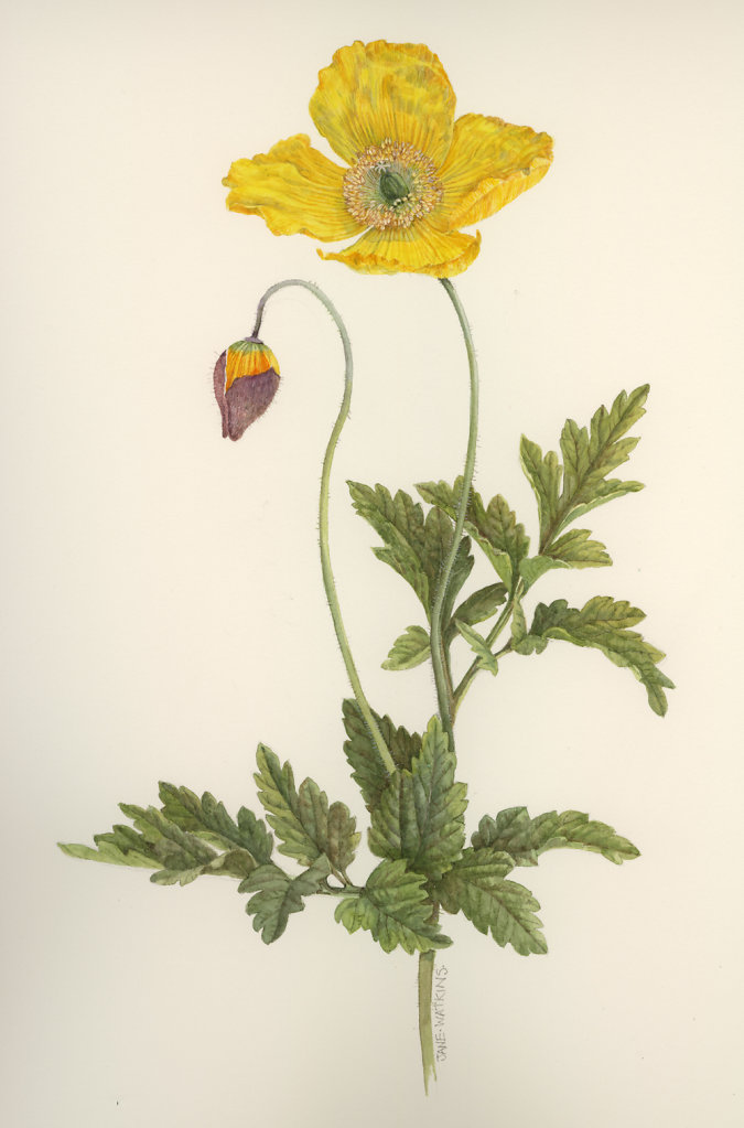 WELSH_POPPY.jpg